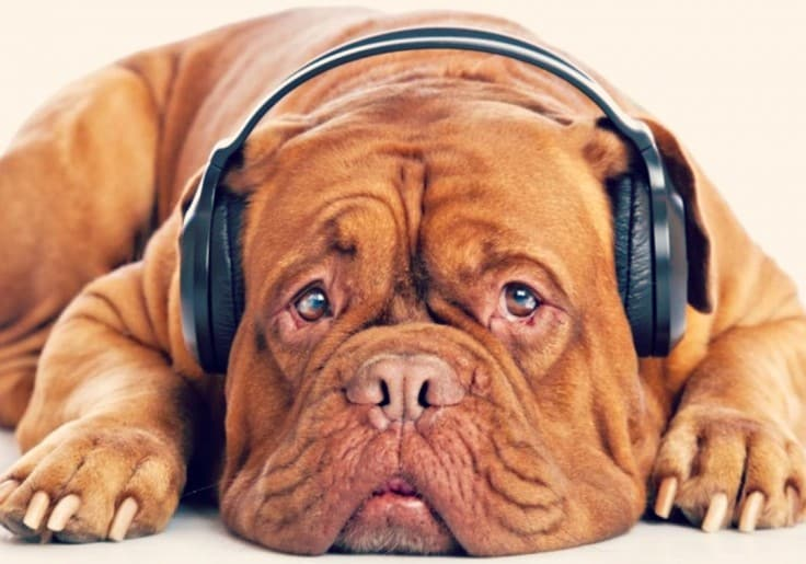 dogs-perfect-saturday-headphones-funny-dog-animal-bulldog-cute-catel-full-hd-animal-736x515